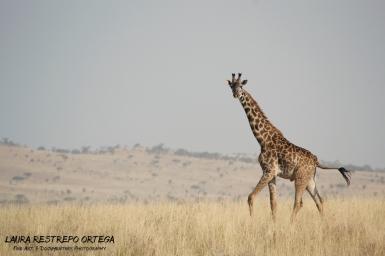 TNZ12-Africa giraffes 3