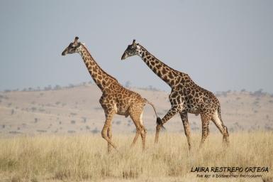 TNZ13-Africa giraffes 7