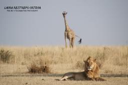 TNZ16-Africa giraffes lions 2