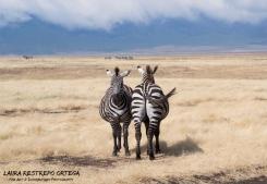 TNZ27-Africa zebra 1