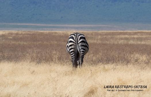 TNZ28-Africa zebra 2