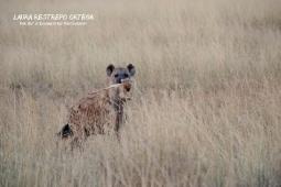 TNZ35-Africa hyena 1