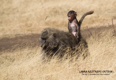 TNZ36-Africa baboon 1